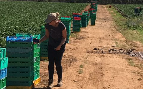 AgPick in the field scanning trays during strawberry picking