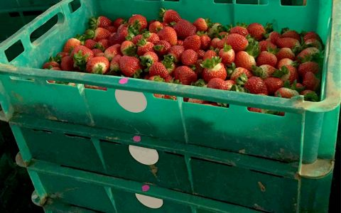 Strawberry trays to be scanned by AgPick