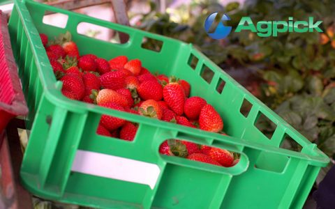 Strawberry tray waiting to be scanned