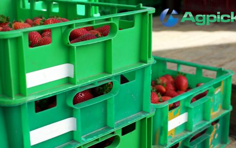 Strawberry picking trays tagged with UHF tags to be scanned with the AgPick system.