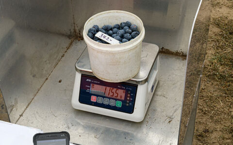 AgPick in action on a blueberry farm
