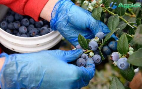 Blueberry picking using AgPick
