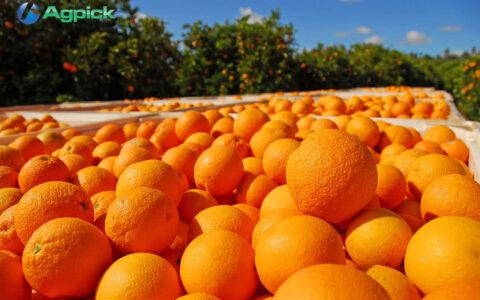 Oranges being harvested